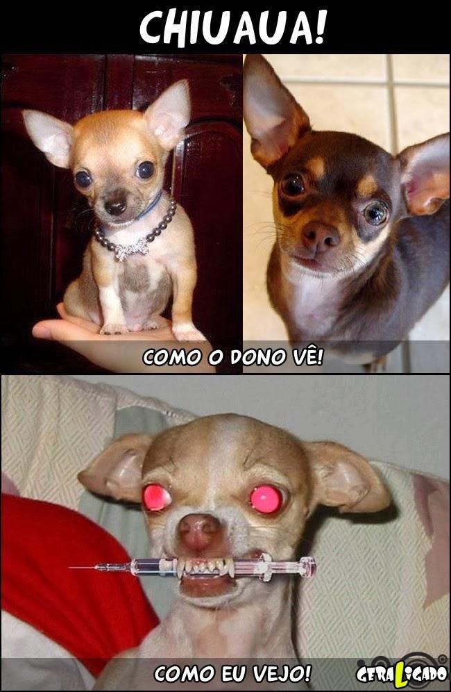 Chihuahua, o cachorro do satanás!