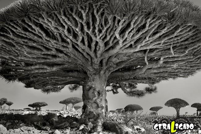 As  árvores mais raras e antigas do mundo1