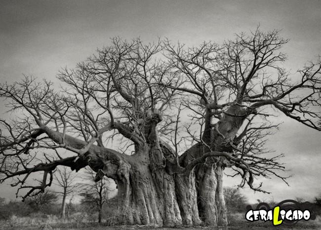 As  árvores mais raras e antigas do mundo10