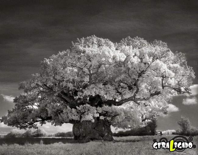 As  árvores mais raras e antigas do mundo13