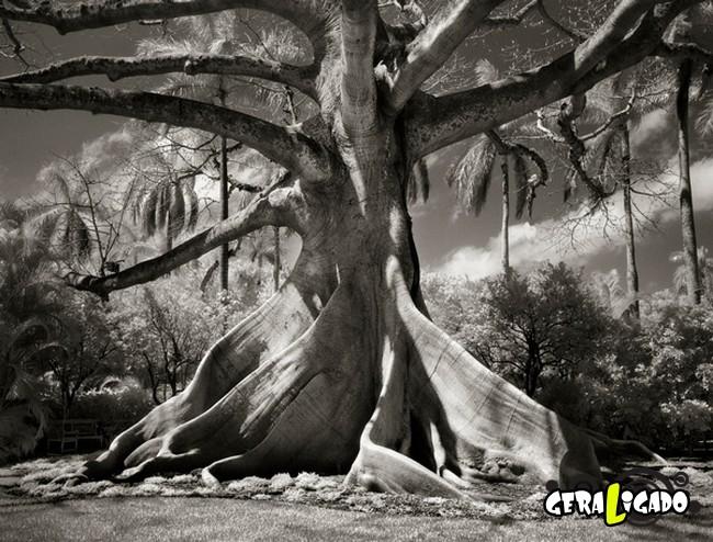 As  árvores mais raras e antigas do mundo2