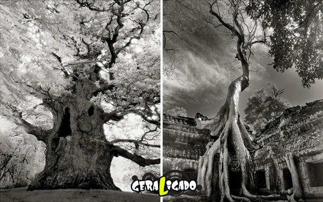 As  árvores mais raras e antigas do mundo6