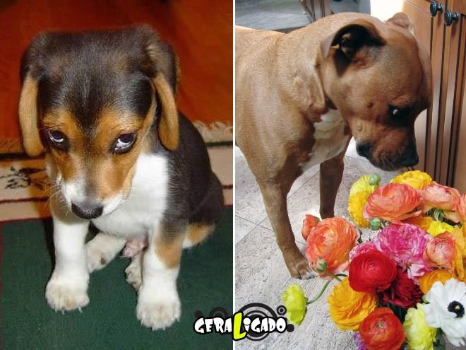 Cães e suas maneiras de pedir perdão pelo vacilo14