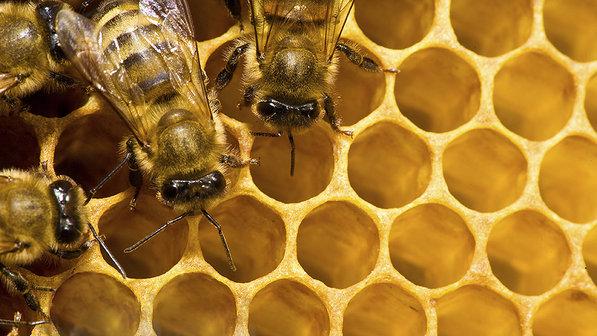 ciencia-animais-abelhas-apicultura-20140130-004-size-598