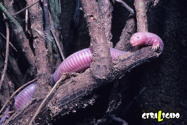 Conheça 20 criaturas naturalmente cor de rosa2
