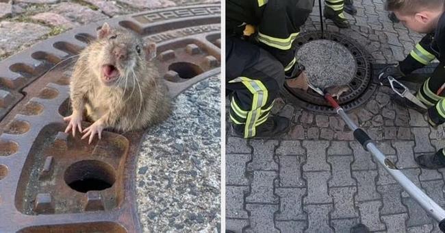 O Corpo de Bombeiros resgatando uma rata obesa