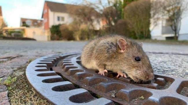 O Corpo de Bombeiros resgatando uma rata obesa1