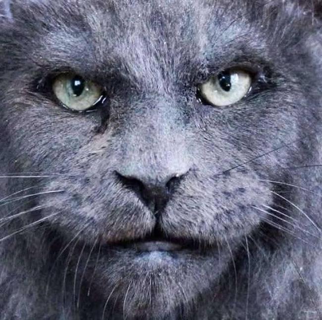 Gatos da raça Maine Coin tem rostos parecidos com os humanos