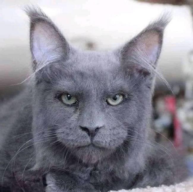 Gatos da raça Maine Coin tem rostos parecidos com os humanos3