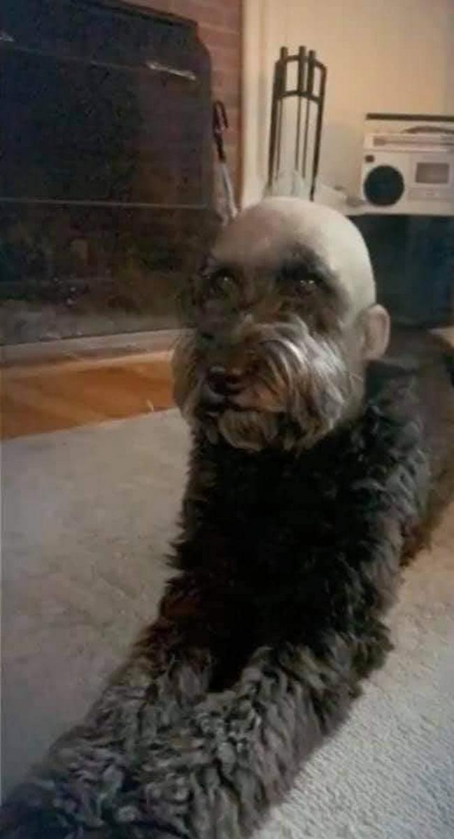 Mandei meu cachorro pro pet shop e ele voltou assim1