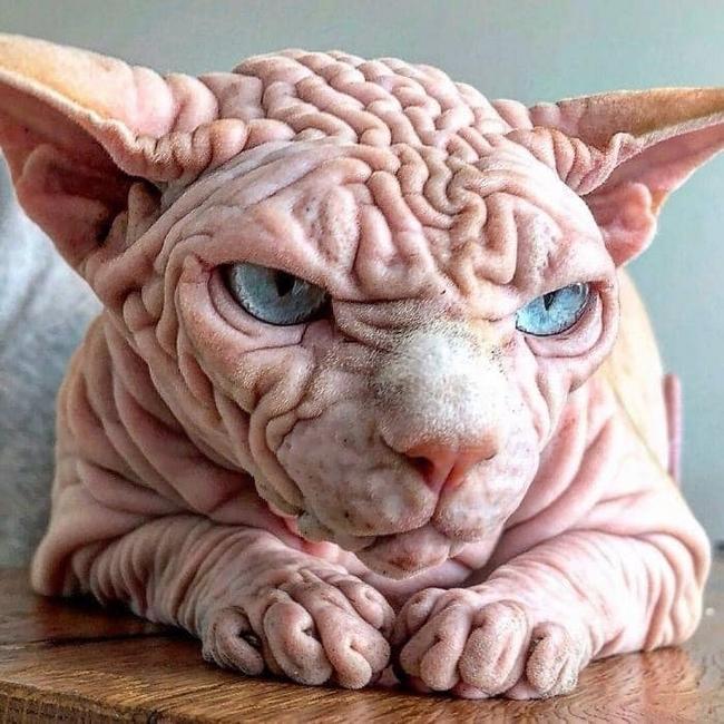 A beleza do Gato Sphynx
