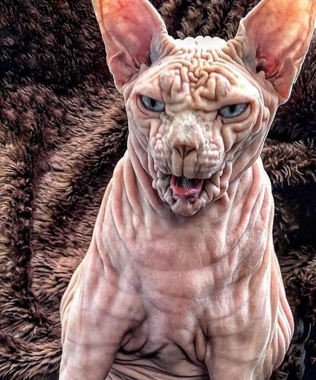 A beleza do Gato Sphynx3