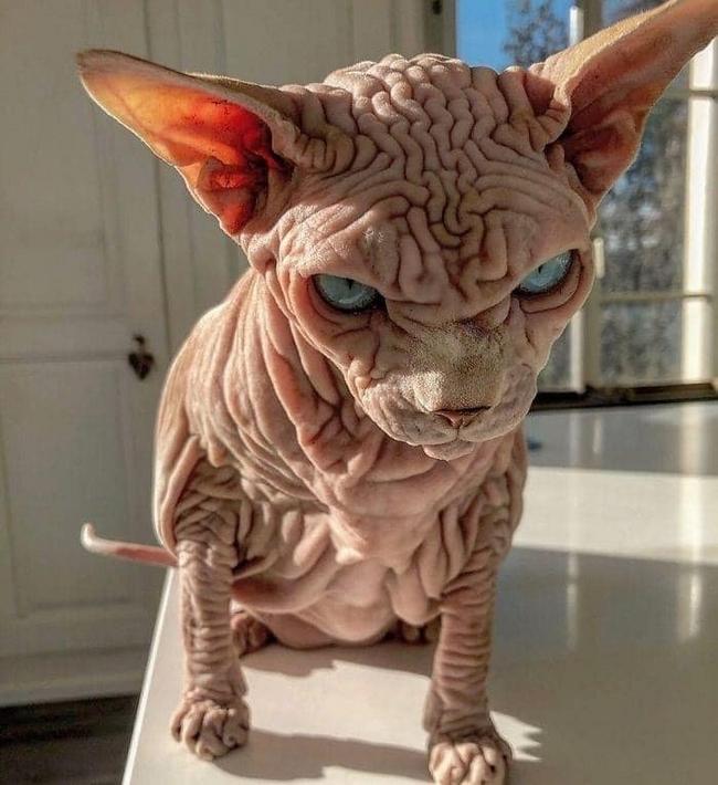 A beleza do Gato Sphynx4