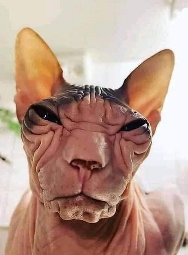A beleza do Gato Sphynx5