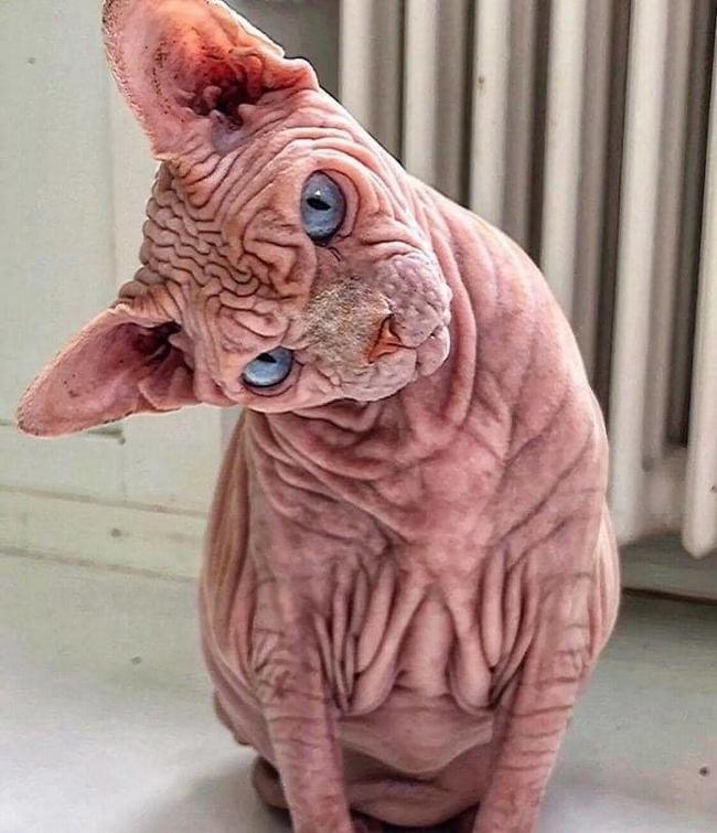 A beleza do Gato Sphynx6