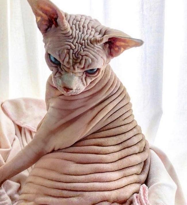 A beleza do Gato Sphynx9