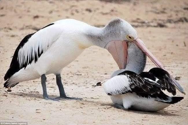 Pelicanos tentando comer animais