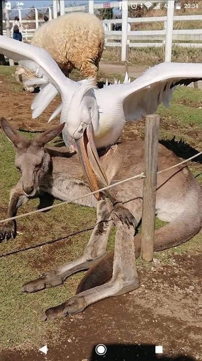 Pelicanos tentando comer animais11
