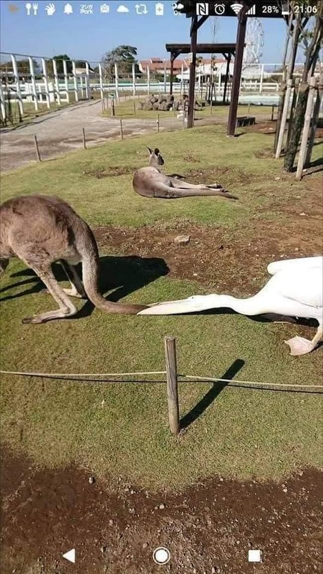 Pelicanos tentando comer animais12