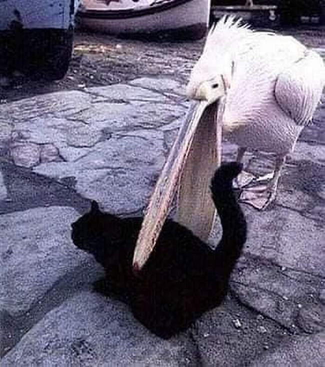Pelicanos tentando comer animais4