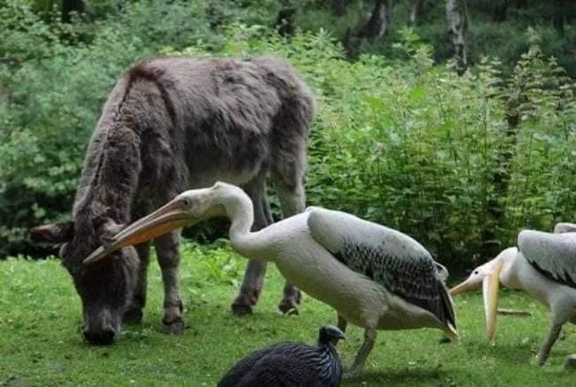Pelicanos tentando comer animais5
