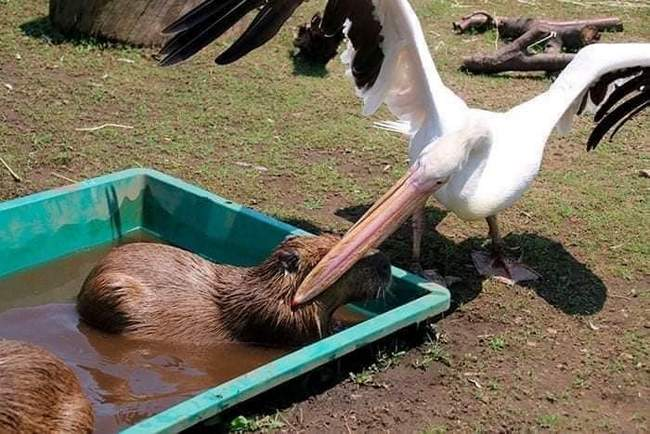 Pelicanos tentando comer animais6