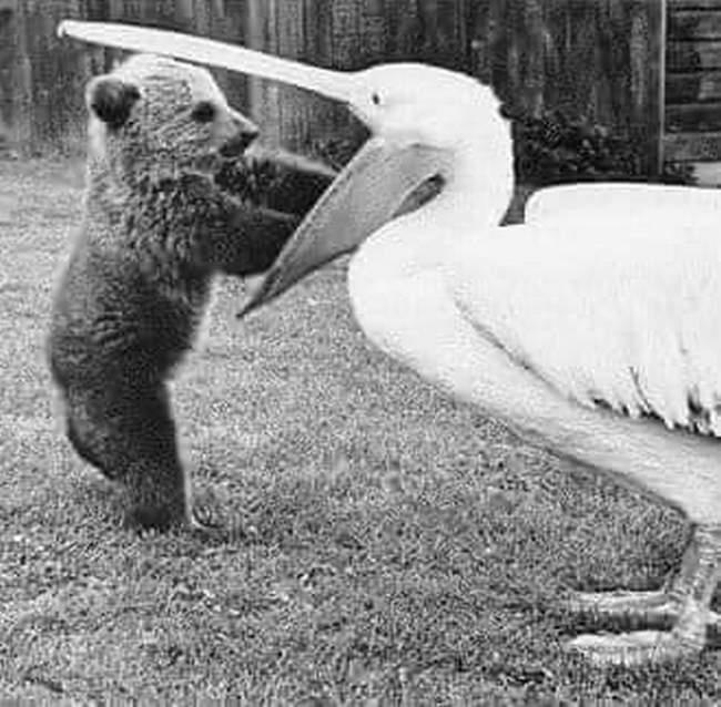 Pelicanos tentando comer animais9
